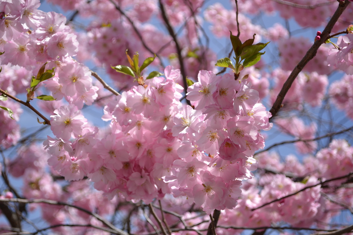 Spring Cherry Blossoms Quotes