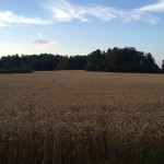 Wheat Field #1