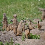 Meerkats at the Zoo - Pictures of a Meerkat Family #4
