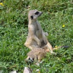 Meerkats at the Zoo - Pictures of a Meerkat Family #5